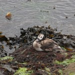 Long tailed Duck Burghead harbour 23 May 2014 Bob Johnson