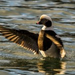Long tailed Duck Hopeman harbour 20 Feb 2014 David Main