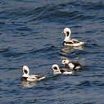 Long tailed Duck Lossiemouth 12 Jan 2017 Gordon Biggs