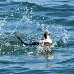 Long tailed Duck Lossiemouth 16 Feb 2017 Gordon Biggs 1