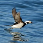 Long tailed Duck Lossiemouth 16 Feb 2017 Gordon Biggs 2 P