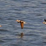 Long tailed Duck Lossiemouth 29 Dec 2014 Gordon Biggs