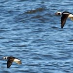 Long tailed Duck Lossiemouth 29 Jan 2018 Gordon Biggs