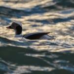 Long tailed Duck Lossiemouth 4 Feb 2014 David Main