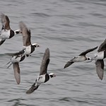 Long tailed Duck Lossiemouth 6 Feb 2015 Gordon Biggs