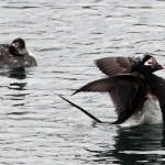 Long tailed Ducks Buckie harbour 2 May 2013 Gordon Biggs