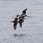 Long tailed Ducks Burghead 13 Feb 2015 Tony Backx