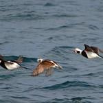 Long tailed Ducks Lossiemouth 14 Mar 2014 Gordon Biggs