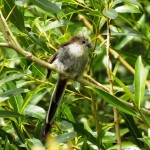 Long tailed Tit Spey Bay 9 Jul 2015 Kathleen Sanderson