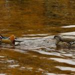 Mandarin Ducks Sanquhar Loch 26 Nov 2013 Alison Ritchie