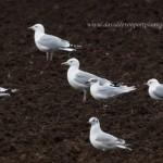 Mediterranean Gull Crofts of Dipple 5 March 2014 David Devonport 1