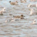 Mediterranean Gull Loch Spynie 11 Feb 2017 Duncan Gibson