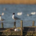 Mediterranean Gull Loch Spynie 15 March 2015 David Main 2