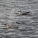 Mediterranean Gull Loch Spynie 28 Mar 2014 Duncan Gibson