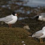 Mediterranean Gull Lossie estuary 12 March 2015 David Main 1