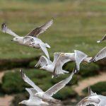 Mediterranean Gull Lossie estuary 18 Aug 2017 David Main 2 P