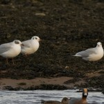 Mediterranean Gull Lossie estuary 19 Dec 2015 David Main