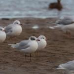 Mediterranean Gull Lossie estuary 20 Dec 2015 David Main