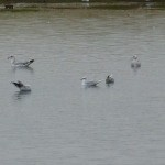 Mediterranean Gull Lossie estuary 20 Oct 2014 Bob Proctor