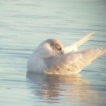 Mediterranean Gull Lossie estuary 25 Oct 2015 Bob Proctor