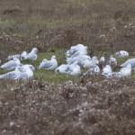 Mediterranean Gull Lossie estuary 25 Oct 2015 Pat Douglass 2