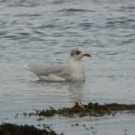 Mediterranean Gull Lossie estuary 27 Aug 2015 Duncan Gibson