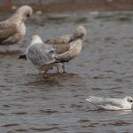 Mediterranean Gull Lossie estuary 3 Sep 2017 David Main P