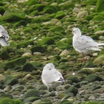 Mediterranean Gull Spey estuary 3 Oct 2014 Martin Cook