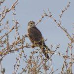 Merlin Findhorn Bay 10 Mar 2017 Richard Somers Cocks P