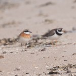 Mongolian Plover Lossiemouth east beach 16 July 2013 Margaret Sharpe 3