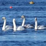 Mute Swans Findhorn Bay 8 Feb 2014 Richard Somers Cocks