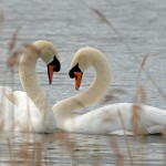 Mute Swans Loch Spynie 6 Apr 2014 Gordon Biggs