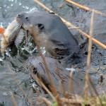 Otter Loch Spynie 22 Dec 2014 Gordon Biggs 2