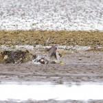 Peregrine killing prey Findhorn Bay 5 Aug 2013 Richard Somers Cocks