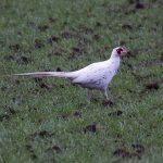Pheasant Duffus 28 November 2017 Jim Simpson