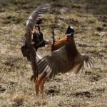 Pheasants fighting Dallas 13 Apr 2013 Gordon Biggs