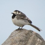 Pied Wagtail Tugnet 10 Apr 2014 Sue Gill