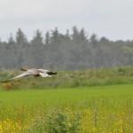 Pink Footed Goose Findhorn Bay 24 June 2013 Gordon McMullins