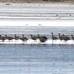 Pink footed Geese Findhorn Bay 13 Sept 2015 Richard Somers Cocks