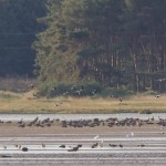 Pink footed Geese Findhorn Bay 18 Sept 2013 Richard Somers Cocks