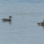 Pintail Loch Spynie 14 Sept 2014 Martin Cook
