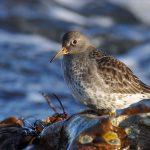 Purple Sandpiper Covesea 27 Jan 2017 Margaret Sharpe 3 P