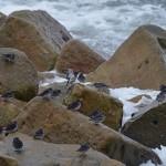 Purple Sandpipers Lossiemouth 10 Nov 2015 Gordon Biggs