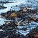 Purple Sandpipers Lossiemouth 14 Dec 2014 Gordon Biggs