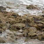 Purple Sandpipers Lossiemouth 16 Apr 2014 Gordon Biggs