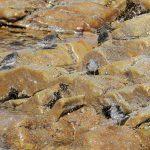 Purple Sandpipers Lossiemouth 23 Apr Gordon Biggs 1