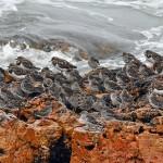 Purple Sandpipers Lossiemouth 4 Apr 2015 Gordon Biggs 3