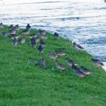 Purple Sandpipers Lossiemouth 5 Dec 2013 Tony Backx