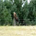Red Kite Refouble 20 Aug 2017 Alison Ritchie 1 P
