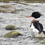 Red breasted Merganser Nairn 5 Mar 2015 Alison Ritchie